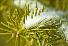 Spruce branches in the snow Royalty Free Stock Photos