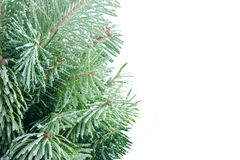 Spruce Branches in Snow Stock Photos