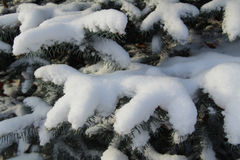 Spruce branches in the snow. Russia. Snow on spruce branch. Russia Royalty Free Stock Image