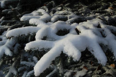 Spruce branches in the snow. Russia. Snow on spruce branch. Russia Stock Photos