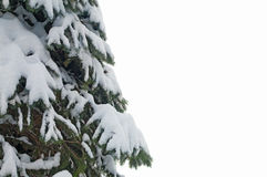 Spruce branches Royalty Free Stock Images