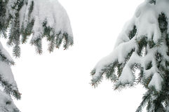 Spruce branches Stock Images