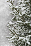 Spruce branches with snow Stock Photography