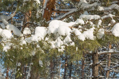 Spruce branches with snow Stock Photos