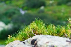 Spruce branches. In mountainous areas stock photos