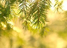 Spruce branches in sunshine. Photo of spruce branches in sunshine Royalty Free Stock Photos