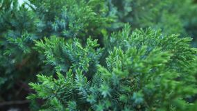 Spruce branches sway in the wind. Close-up stock video