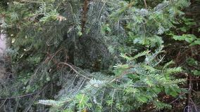 The spruce branches swaying. In the wind stock footage
