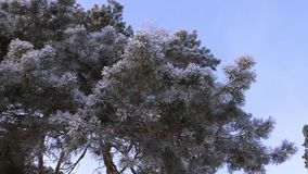 Spruce branches of tree are covered with hoarfrost in winter park, against a blue sky. stock video
