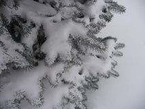 Spruce branches under the first snow. Background for new year greetings. royalty free stock photo