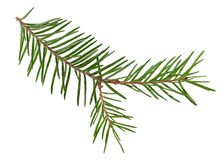 Spruce branches on a white background Stock Photo