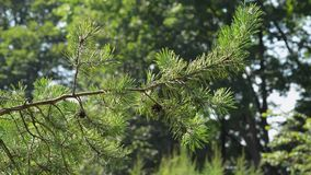 Spruce branches in the wind stock video