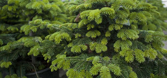 Spruce branches. Young green spruce branches banner Royalty Free Stock Image