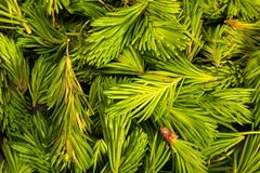Spruce branches with young green shoots. Ethnoscience royalty free stock photos