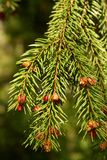 Spruce brunch Royalty Free Stock Images