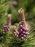 Spruce bud Royalty Free Stock Photo
