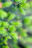 Spruce buds. Fresh spruce buds growing in spring royalty free stock photography