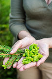 Spruce buds. In woman hands- syrup ingredient stock photo