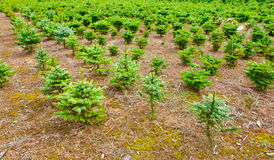 Spruce for Christmas Stock Photography