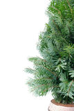 Spruce Christmas Tree Royalty Free Stock Photography