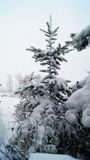 Spruce - christmastree. Spruce- christmastree covered with the snow Royalty Free Stock Image