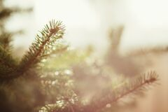 Spruce close up Royalty Free Stock Photo