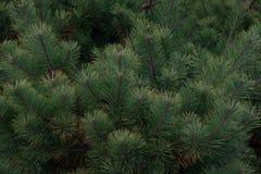 Spruce stock photos