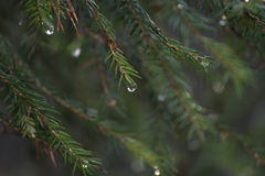Spruce close-up. Royalty Free Stock Image