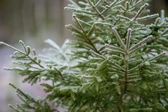 Spruce in a cold and frosty forest stock image