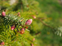 Spruce cone Royalty Free Stock Photo