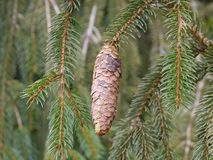 Spruce cone and branch Stock Photo