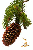 Spruce cone branch. Stock Photo