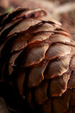 Spruce cone for fun and pleasure Royalty Free Stock Image