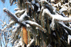 Spruce cone with snow Picea abies Royalty Free Stock Photography