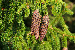 Spruce cone Stock Image