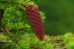 Spruce cone Royalty Free Stock Image