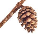 Spruce cone Stock Image