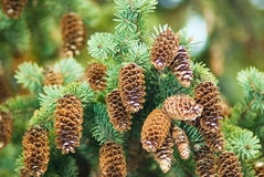 Spruce cones Stock Photos