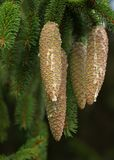 Spruce cones Royalty Free Stock Photos