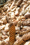 Spruce cones of a barefoot track Stock Image