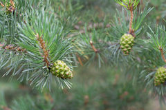 Spruce cones on a branch Stock Images