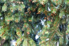 Spruce cones. royalty free stock image