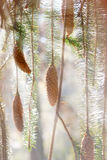 Spruce cones and branches in sunbeams. Spruce cones and branches in sunshie in the forest Stock Photography