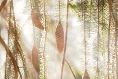 Spruce cones and branches in sunlight. Spruce cones and branches in sunshine Royalty Free Stock Image