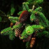 Spruce with cones, close up stock images