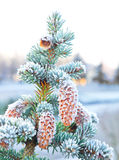 Spruce with cones Royalty Free Stock Photo
