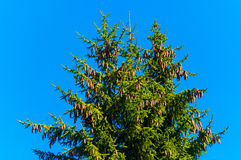 A spruce cones. Royalty Free Stock Photos