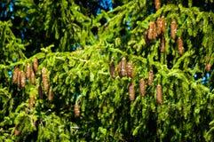A spruce cones. Stock Photos