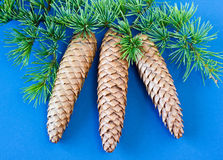 Spruce cones and foliage on blue background Stock Photography