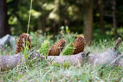 Spruce cones royalty free stock photo